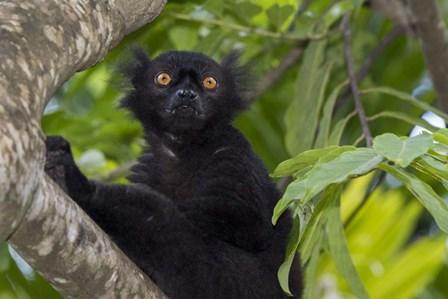 Madagascar Wild Black Lemur Male by Cindy Miller Hopkins / Danita Delimont art print