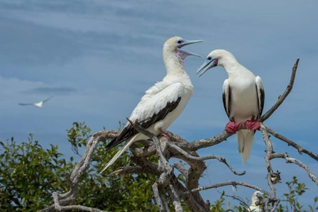 Pair of Red-Footed Boobies, Seychelles by Cindy Miller Hopkins / Danita Delimont art print