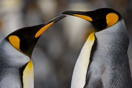 Antarctica, South Georgia, King Penguin Pair by George Theodore / Danita Delimont art print