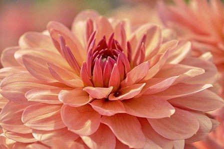 Peach Colored Dahlia Flower by Cora Niele art print