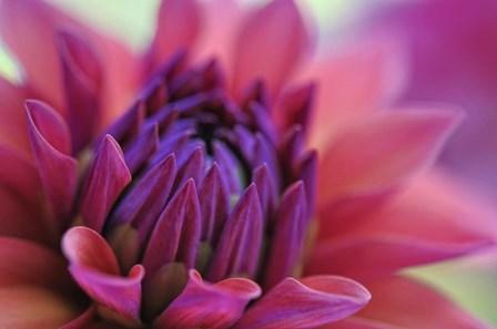 Dahlia Centre Pink Purple by Cora Niele art print