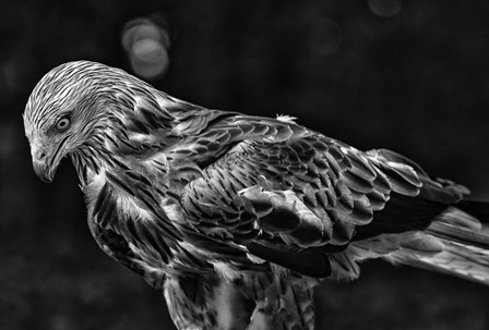 Red Kite Looking Down - Black & White by Duncan art print