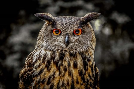 Oehoe Owl by Duncan art print