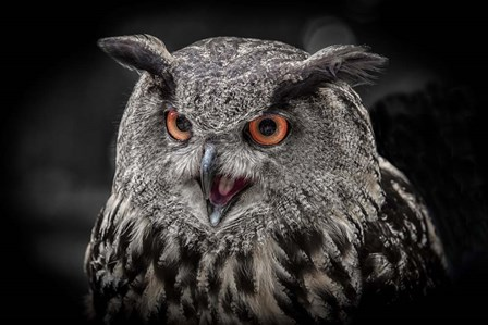 Red Eyed Owl Close Up  - Black & White by Duncan art print