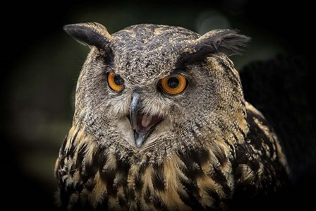 Red Eyed Owl Close Up by Duncan art print