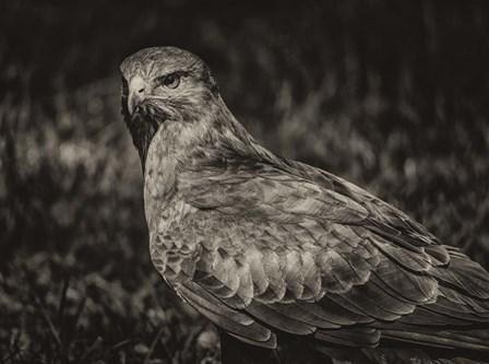 Predator Bird  II Sepia by Duncan art print