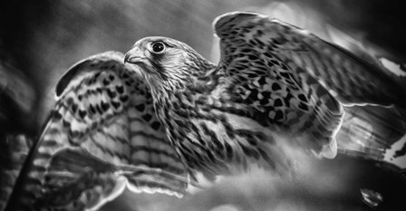 Predator Bird Spreading it's Wings - Black & White by Duncan art print