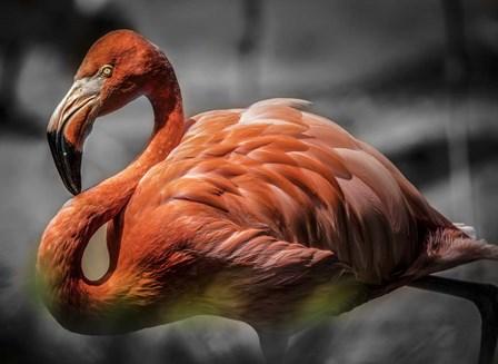 Flamingo - Black & White by Duncan art print