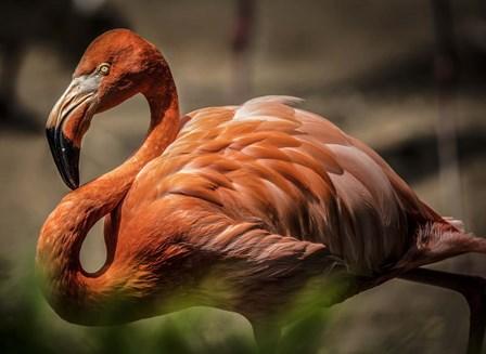 Flamingo by Duncan art print