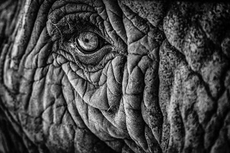 Elephant Close Up II - Black & White by Duncan art print