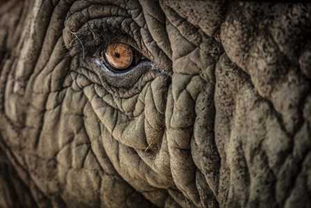 Elephant Close Up II by Duncan art print