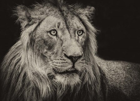 The Lion Sepia by Duncan art print
