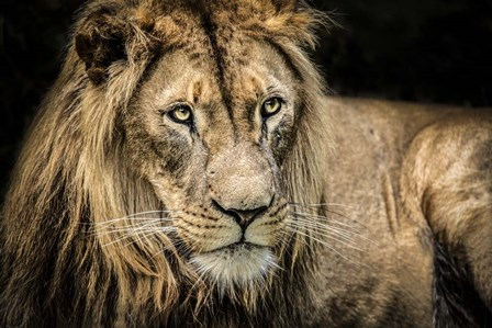 The Lion II by Duncan art print