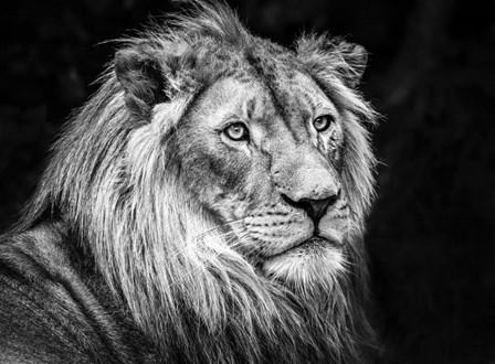 The Lion V - Black & White by Duncan art print