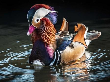 Mandarin Duck by Duncan art print