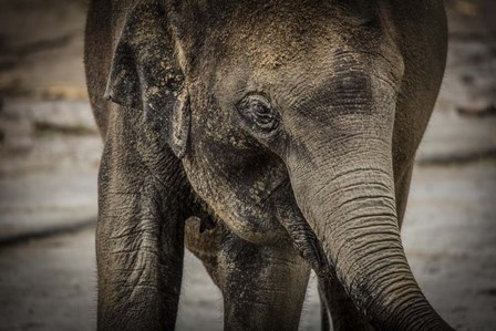 Young Elephant by Duncan art print