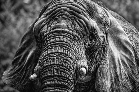 Elephant Front Black & White by Duncan art print