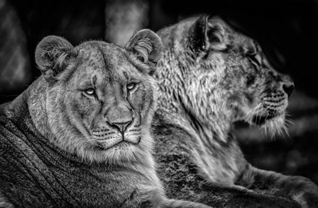 Two Female Lions Black & White by Duncan art print