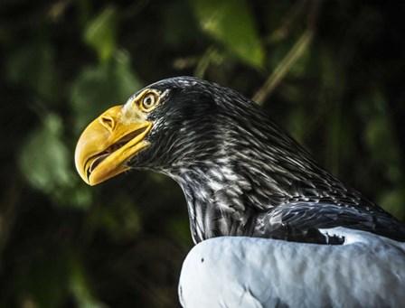 Steller Eagle by Duncan art print