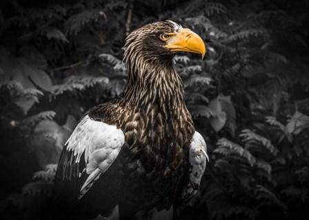 Steller Eagle IV Black by Duncan art print