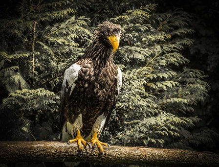 Steller Eagle VI by Duncan art print