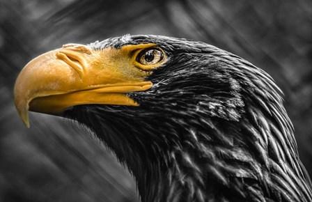 Steller Sea Eagle Black & White by Duncan art print