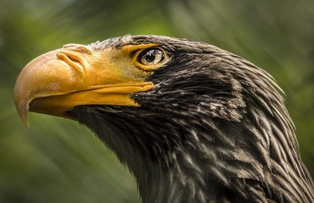Steller Sea Eagle by Duncan art print
