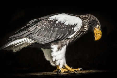 Steller Sea Eagle II by Duncan art print