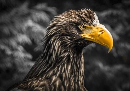 Steller Sea Eagle III Black by Duncan art print