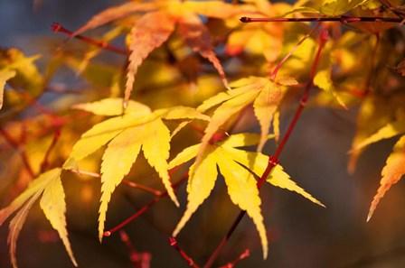 Fall Leaves 7 by Tom Quartermaine art print