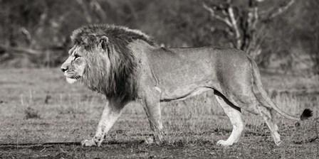 Lion Walking in African Savannah by Pangea Images art print