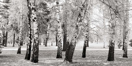 Birches in a Park by Pangea Images art print
