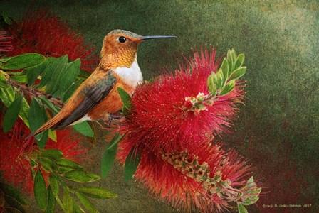 Red Bloom Hummingbird by Chris Vest art print
