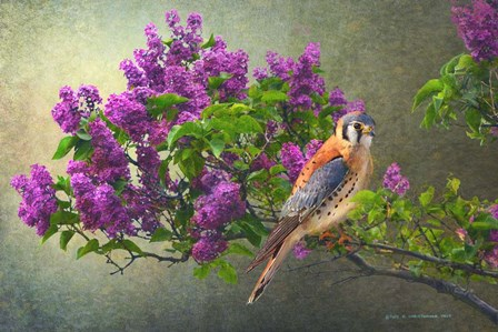 Lilac Branch Kestrel by Chris Vest art print