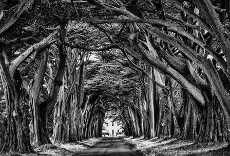 Cypress Trees Black & White by Duncan art print