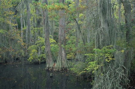 Cypress Cove by Images in Nature art print