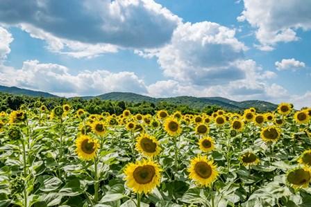 Sunflower Field Against Sky 02 by Eva Bane art print