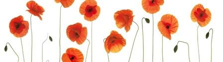 Row of Poppies on White by Tom Quartermaine art print